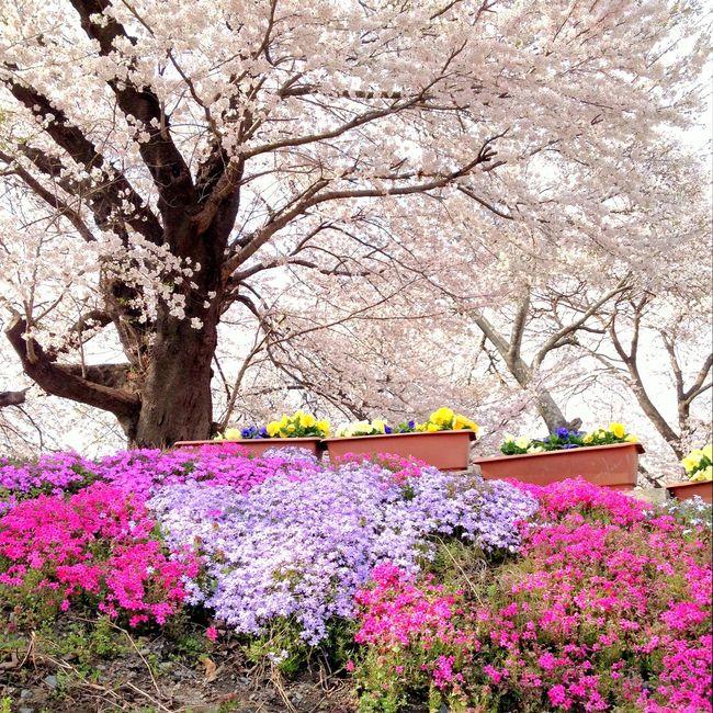 Japan Sakura Flowers Nature EyeEm Nature Lover