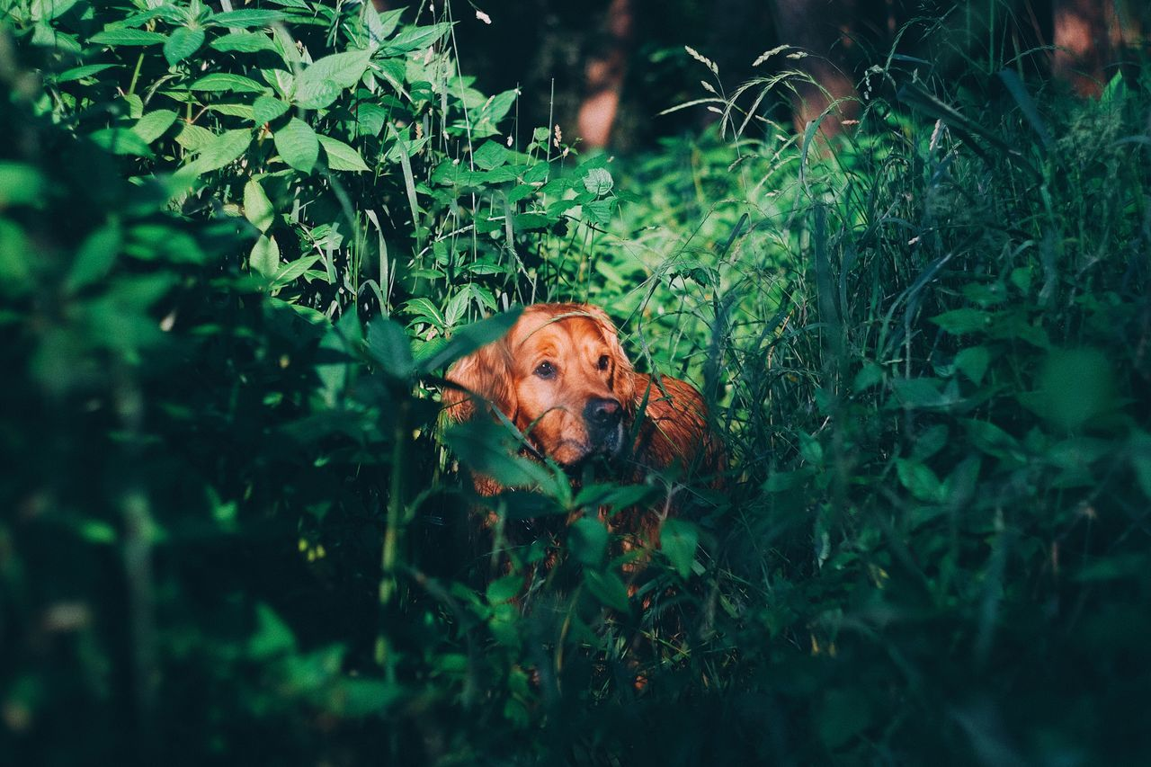 Dog Pets One Animal Animal Themes Domestic Animals Looking At Camera Mammal Plant Green Color Portrait Day Nature Outdoors Grass Growth Leaf No People Tree Goldenretriever Fujifilm_xseries