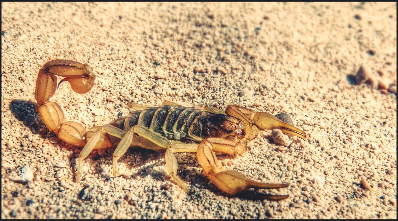 Beautiful stock photos of scorpion, Animal Themes, Animals In The Wild, Arachnid, Auto Post Production Filter