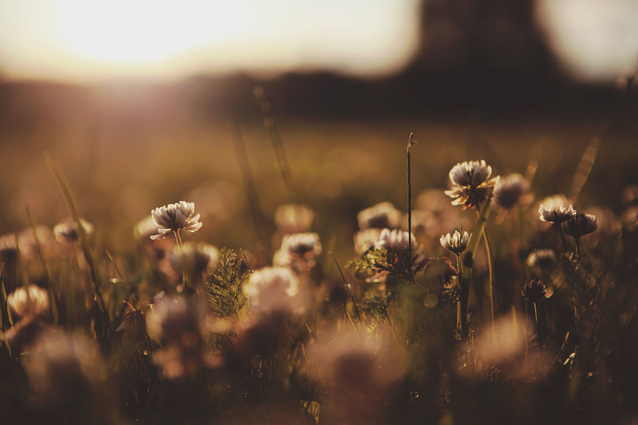 Beauty In Nature Botany Close-up Dandelion Day Field Flower Flower Head Focus On Foreground Fragility Freshness Growth In Bloom Nature Non-urban Scene Plant Selective Focus Softness Springtime Stem Summer Sunset Tranquility Uncultivated Wildflower