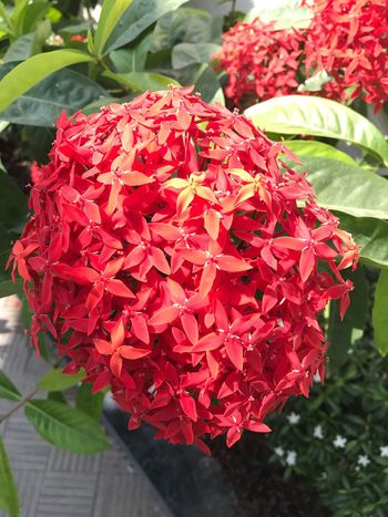 Flower Growth Beauty In Nature Red Petal Ixora Freshness Fragility Nature Flower Head Plant Outdoors Day Blooming Focus On Foreground Close-up No People No Filter, No Edit, Just Photography EyeEmNewHere