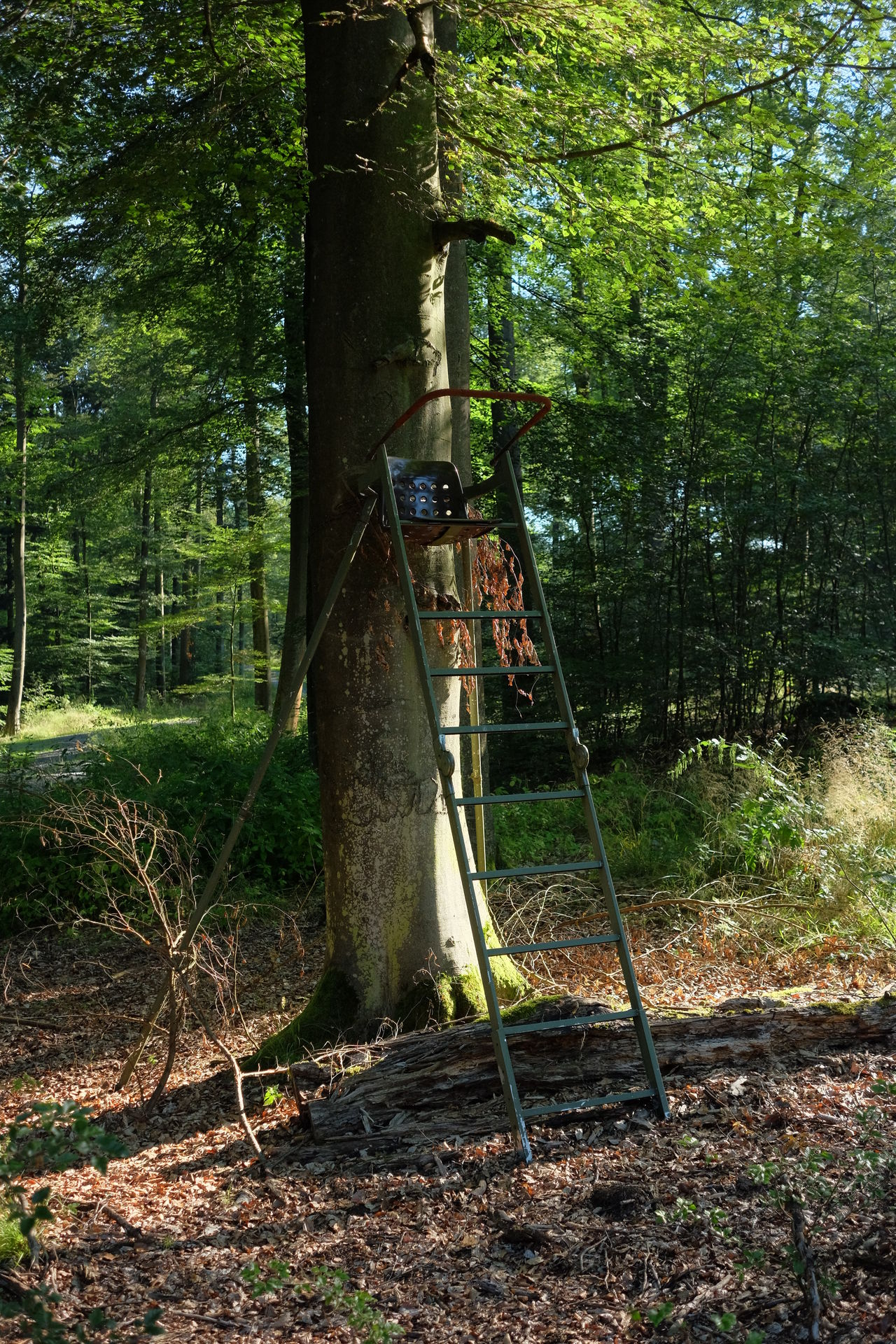 Portable hunting perch tied to a big beech tree Forestry Beech Tree Forest Hunting Metal Perch Nature Outdoors Portable Hunting Perch Tree Trunk Wildlife Control Wildlife Management