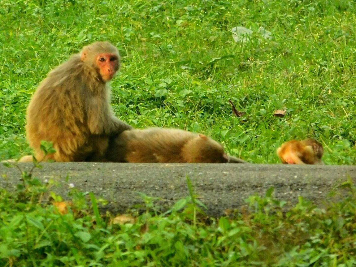 Animal Themes Grass Animals In The Wild Mammal Green Color Outdoors Monkey No People Relaxation Nature Family Time Happy Family! ❤ Afternoon Lazy