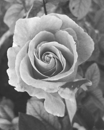 Roses Colors Of Nature, Blackandwhite, Candid Photography Roselover, Beautifulrose Love, Beautiful World