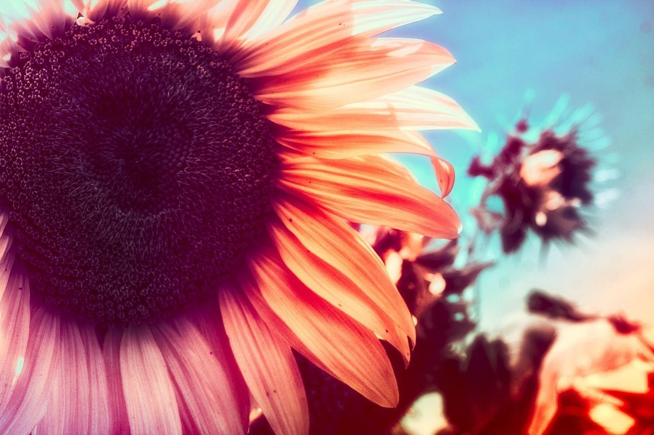 Overprocess ed Sunflower