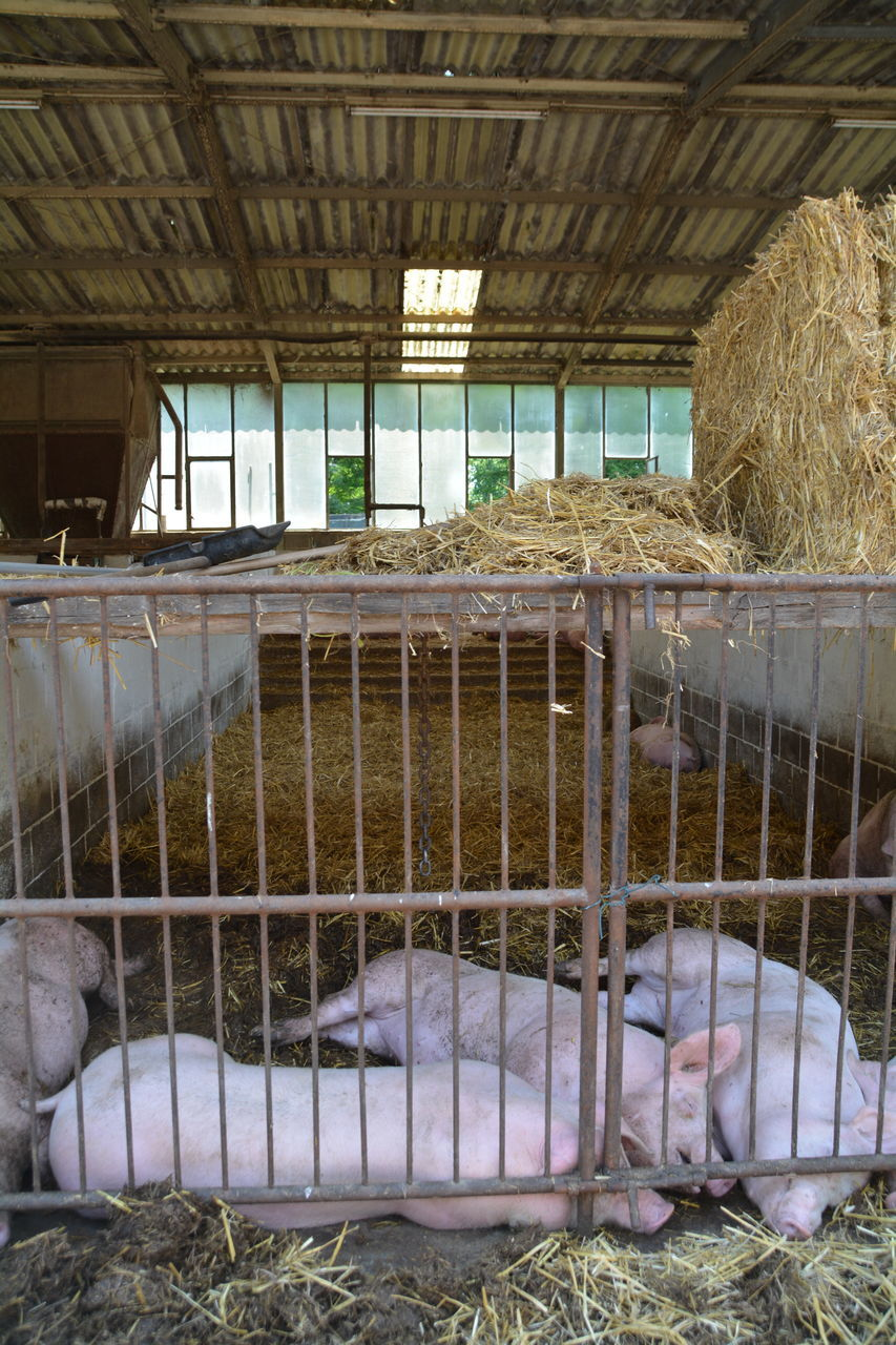 Pigs Lying In Cage At Barn By Stack Of Hay
