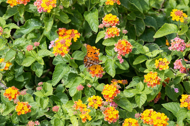 Backgrounds Beauty In Nature Blooming Blossom Botany Butterfly ❤ Close-up Day EyeEm Nature Lover Flower Fragility Freshness Green Color Growth In Bloom Lantana Camara Leaf Nature Orange Color Outdoors Petal Pink Color Plant Springtime