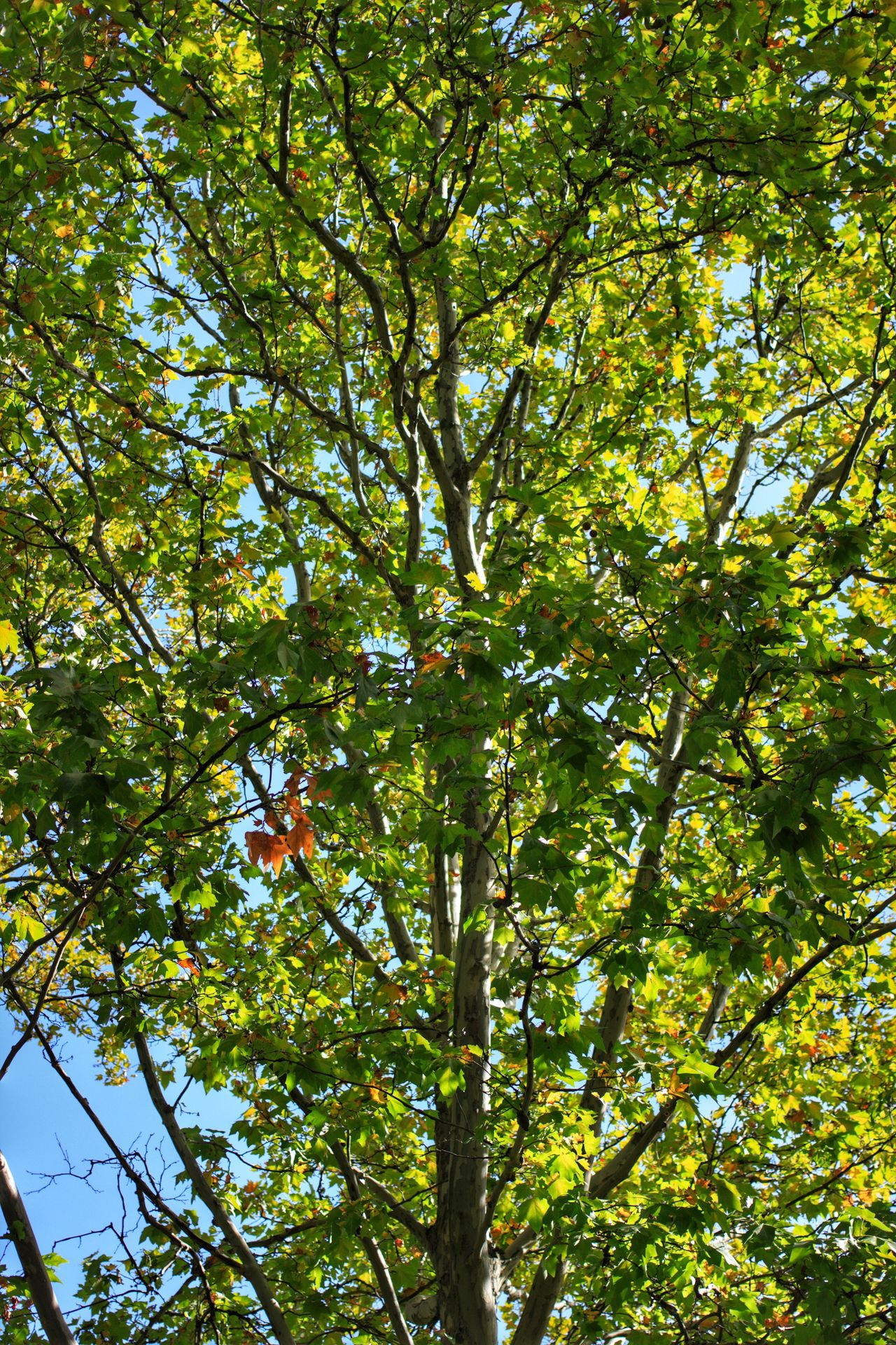 Tree Nature Growth Low Angle View Green Color Beauty In Nature Branch Leaf Autumn Colors Autumn Leaves Autumn Autumn Collection Autumn🍁🍁🍁 Autumn Trees Autumn Leafs Autumn Colours Tree Tops Tree Tops And The Sky Tree Top Top Of Trees Green Leaves First Autumn Leaves Green Leaves. Green Leaves Blue Sky Trees