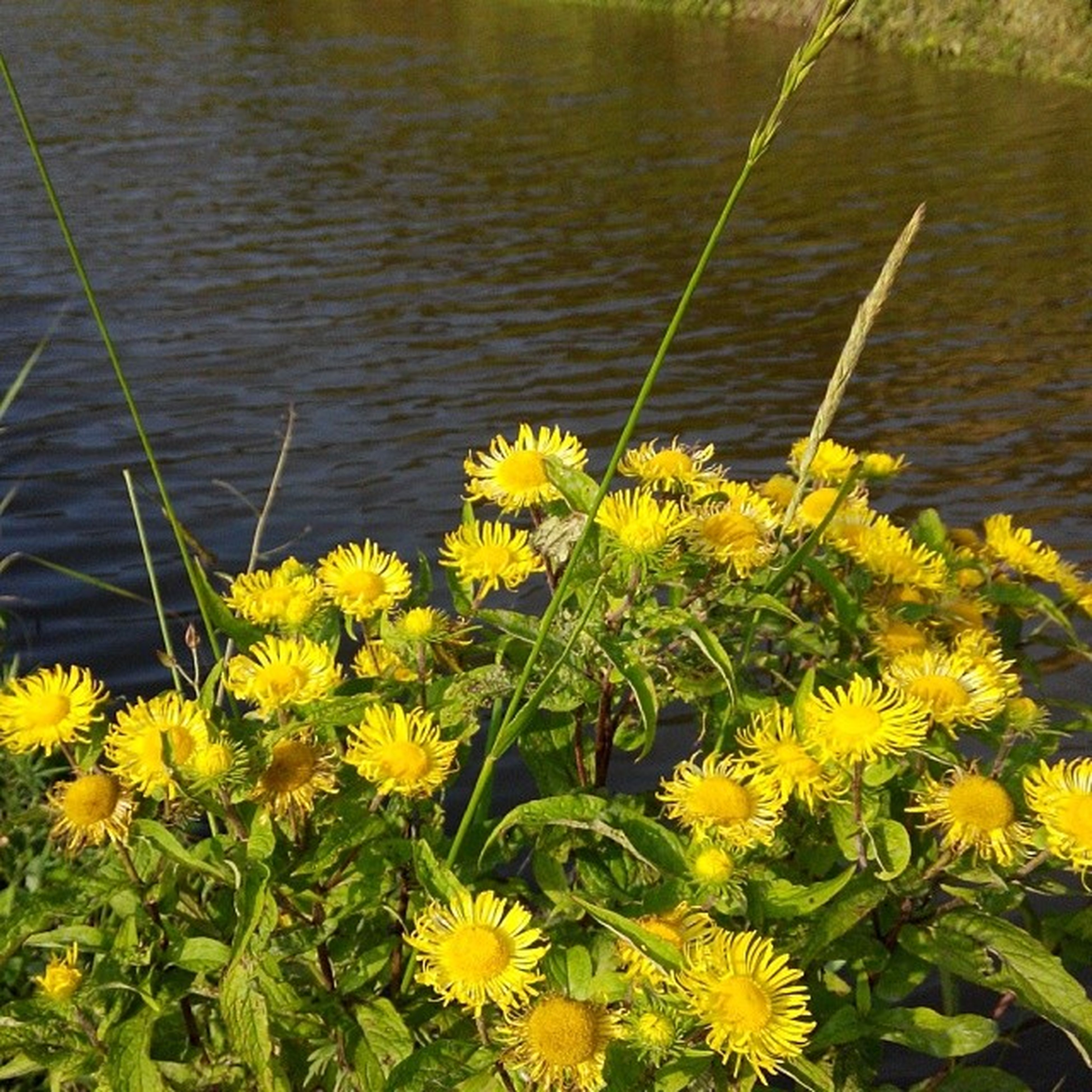 flower, yellow, freshness, growth, fragility, petal, beauty in nature, plant, flower head, nature, water, blooming, in bloom, daisy, stem, high angle view, lake, outdoors, day, green color
