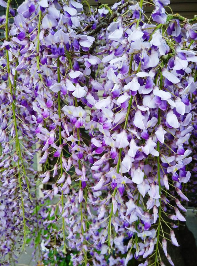 Fragrance whisteria Beauty Redefined Spring Has Arrived Blooming In Spring Japan Shitennoji OSAKA