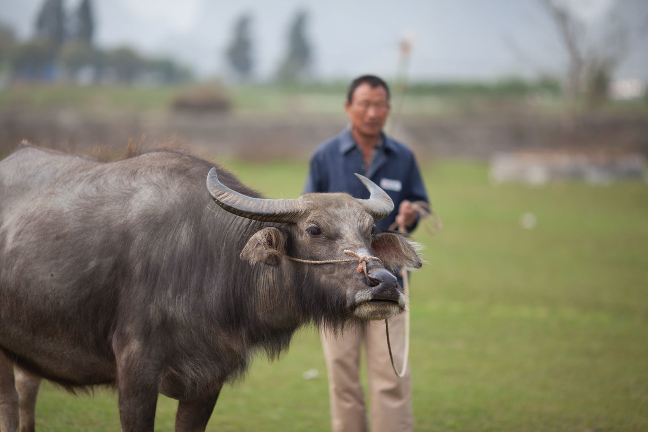 Beautiful stock photos of cow, Animal Themes, Day, Domestic Cattle, Focus On Foreground