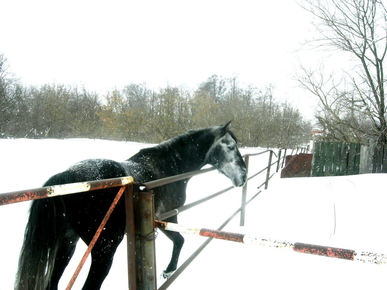 Winter Snow Cold Temperature Domestic Animals Animal Themes Tree Horse Mammal Working Animal One Animal Nature Sky No People Paddock Outdoors Day