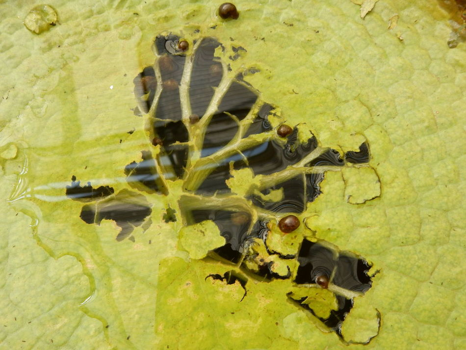 Victoria amazonica Acquaticplants Leaf Outdoors Plant Plant Life Victoria Amazonica Victoria Amazonica Leaf Water