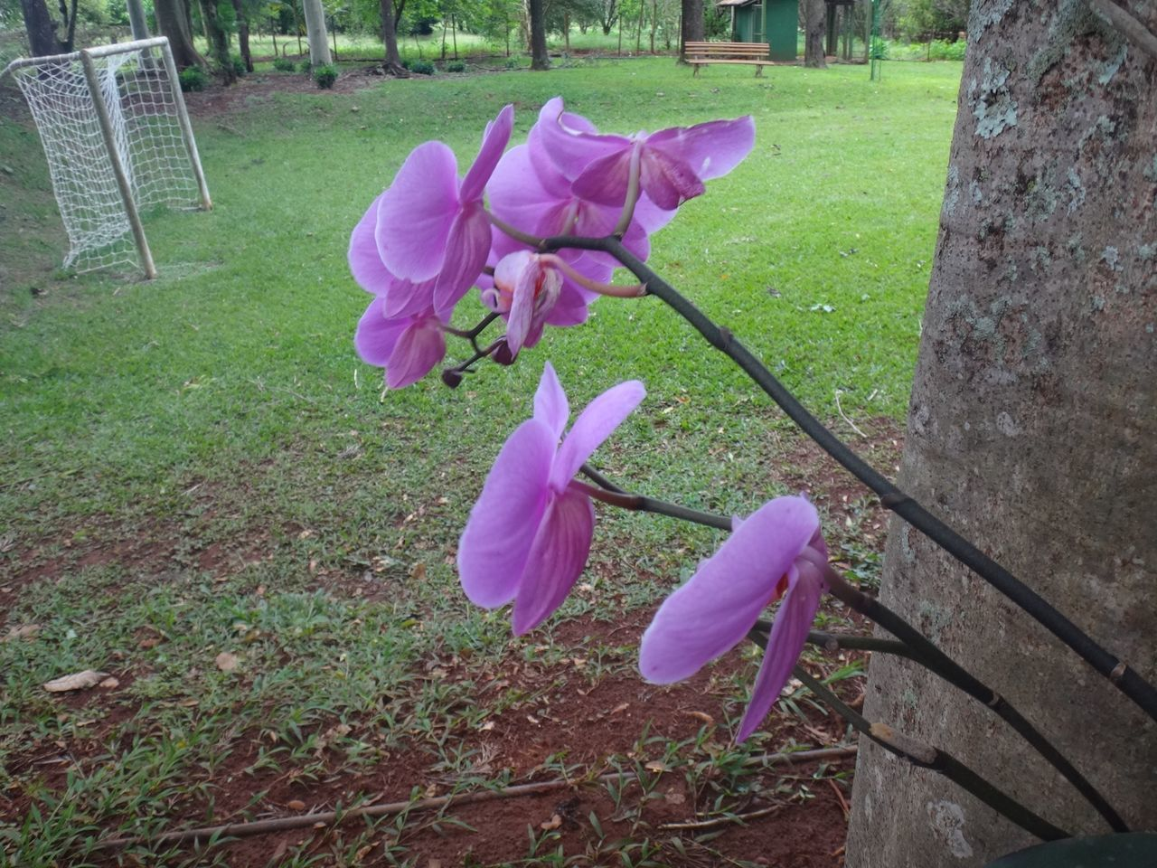 Close-Up Of Pink Orchids Blooming In Back Yard