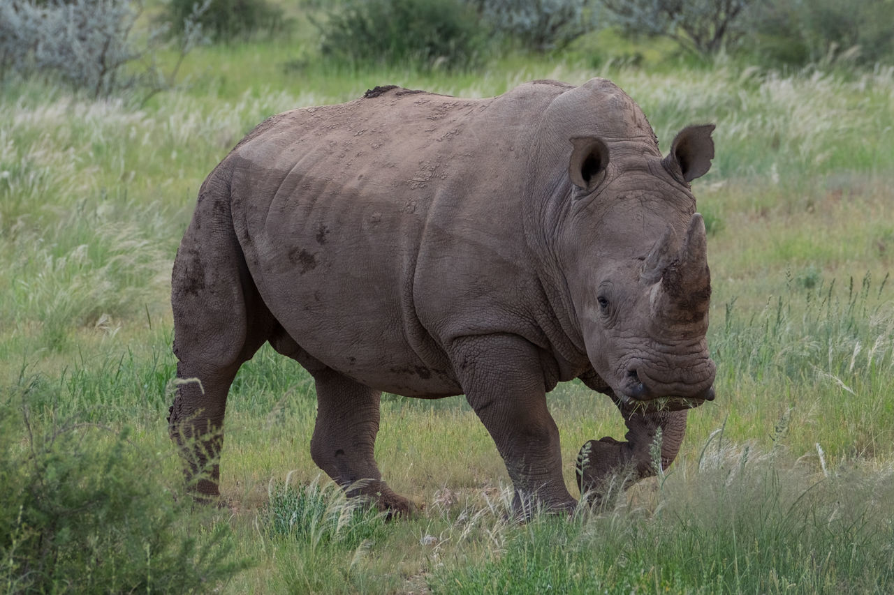 Animal Themes Animal Wildlife Animals In The Wild Animals In The Wild Beauty In Nature Mammal Nature No People One Animal Outdoors Rhino Rhinoceros WhiteRhino