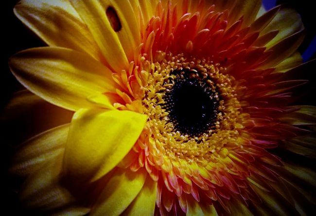 GN... 🎶look at the stars🌠 and see how they shine 4U...They All Yellow💛 🎶🎶 Black Hole Flower Shades Of Grey Passion Sun Closeupshot Deep Colors Focus On Macro Beauty Yellow Flower Yellow Leaves Nature Photography Darkness Also Iluminates BURNBABYBURN Learn & Shoot: Layering
