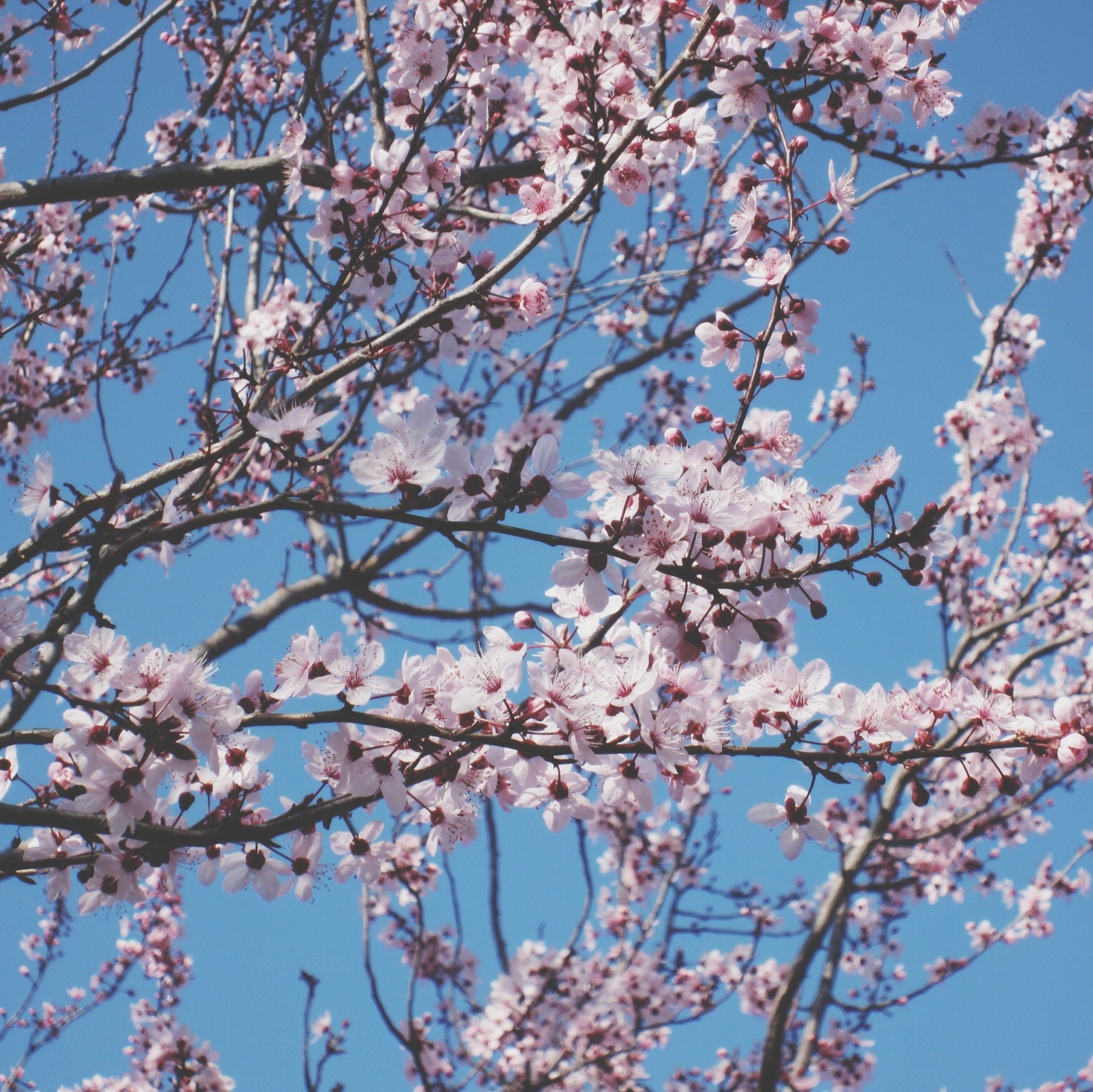 flower, branch, freshness, tree, cherry blossom, low angle view, blossom, fragility, growth, cherry tree, beauty in nature, nature, springtime, fruit tree, in bloom, blooming, clear sky, pink color, orchard, sky