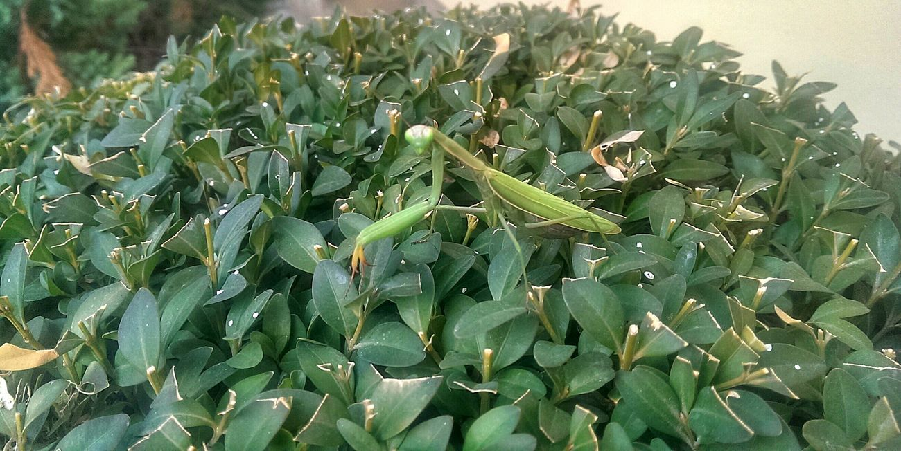 Mantis Green Green Color Insect