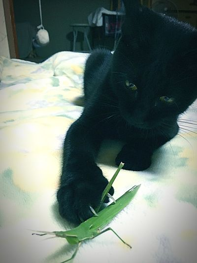 Tonight Is Prey Grasshopper (´ω`) That's Instinct of Cats (*'ω' *) It Missed Ofcourse 💨Cats Love even Insects  Weak 💦