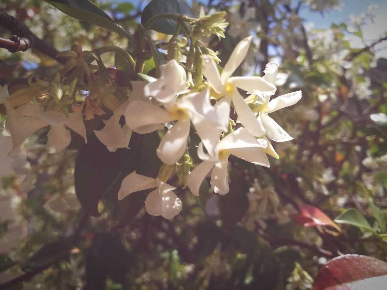Flowers Nature Botany Jasmine Flower