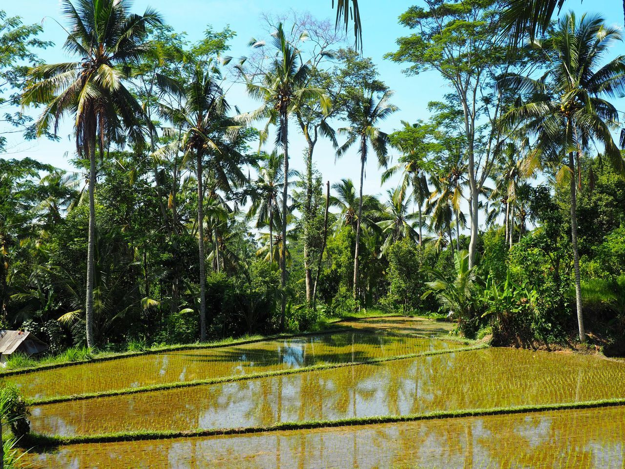 Agriculture Beauty In Nature Blue Sky Coconut Palm Tree Day Exotic Farming Field Food Green Color Growing Growth INDONESIA Indonesian Culture Leaf Nature No People Outdoors Palm Tree Plant Rice Rice Field Rice Plant Sky Tree