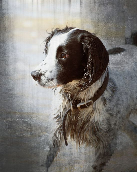 Portrait of a Springer Spaniel Alirt Animal Animal Hair Animal Head  Animal Themes Artistic Impression Black Color Canine Close-up Day Dog Domestic Animals Looking Away Looking For Owner Mammal No People One Animal Outdoors Pets Portrait Springer Spaniel Textured Style Water Wet Whtever