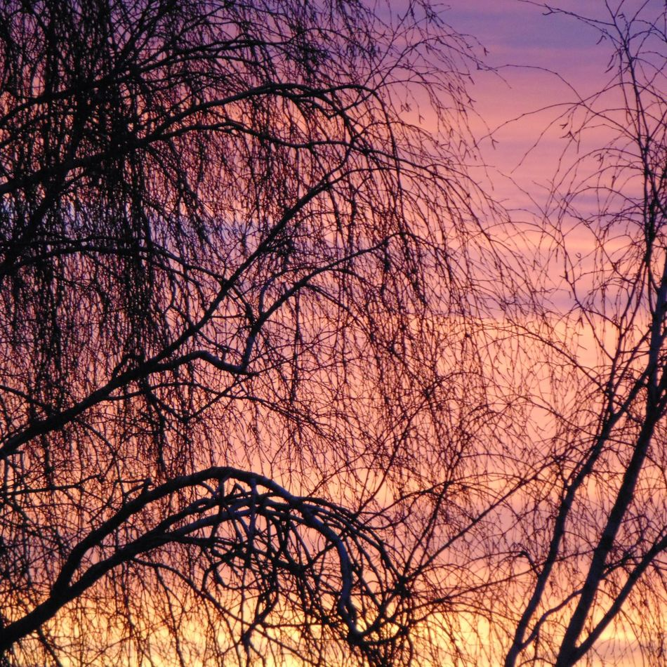 View from my garden tonight, so beautiful Nature Sunset Sky Low Angle View Branch Beauty In Nature Tranquility Outdoors Eyeemphotography EyeEmNewHere Tree Beauty In Nature Peaceful Thoughtful Beautiful Nature SONY DSC-HX400V Purple Clouds