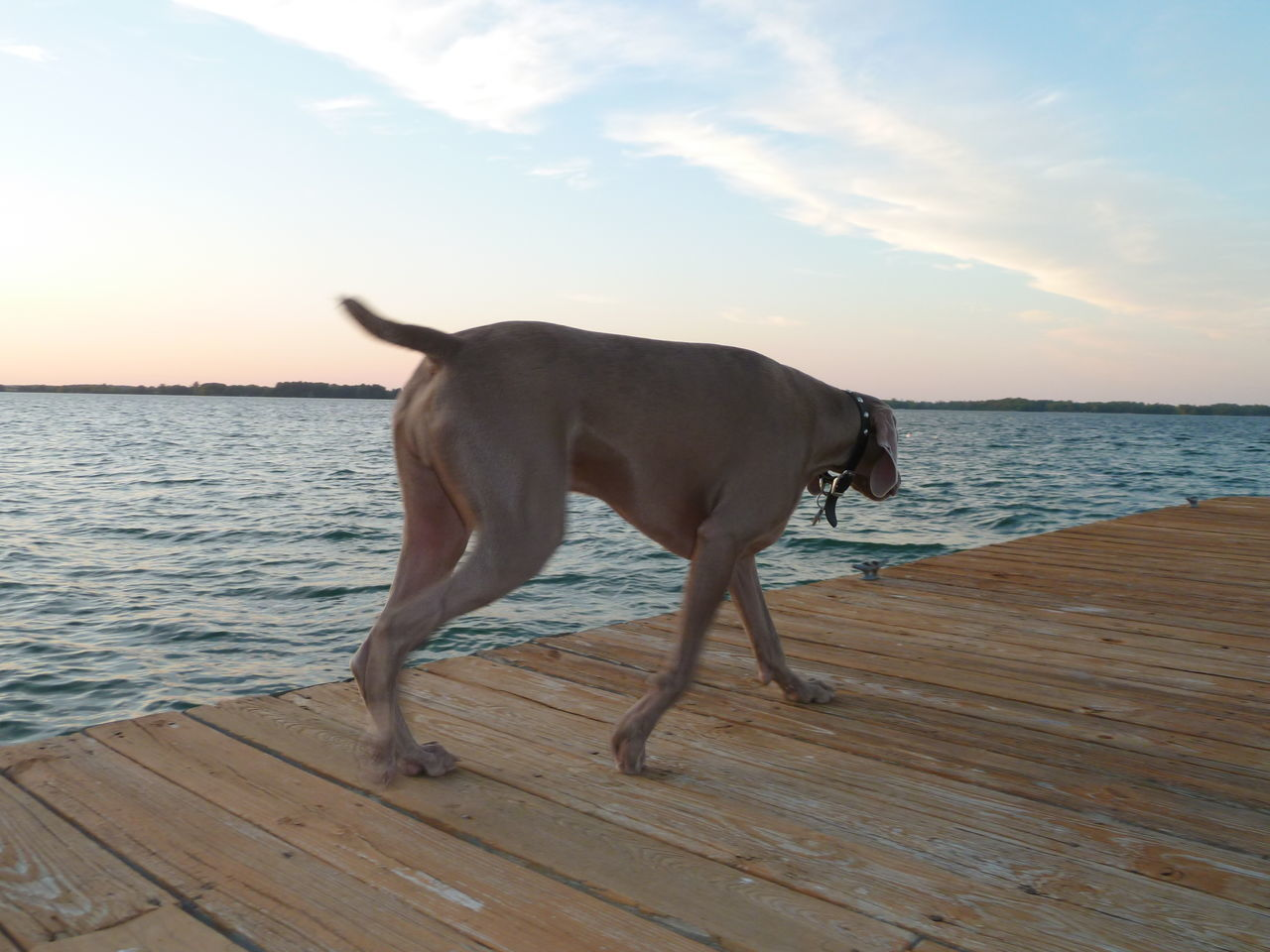 On a mission to the edge. Animal Themes Beach Beauty In Nature Dog Domestic Animals Eyemdog Horizon Over Water Lake Nature One Animal Onthedock Pets River Sea Side View Standing Tranquil Scene Tranquility Water Weimaraner Weimaranerlove Weimaraners Photography In Motion