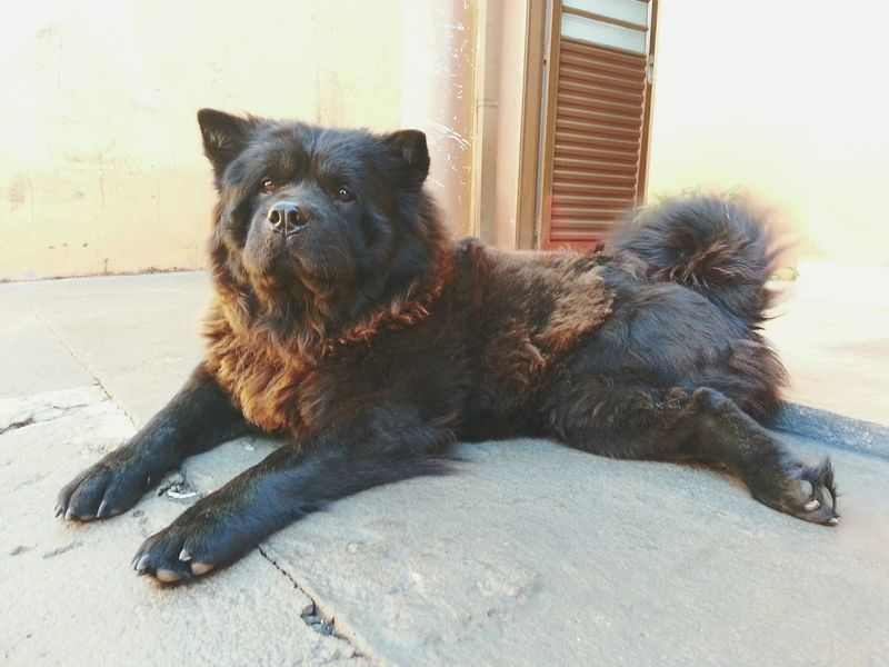 Pérola 🐻🐶🐼💞 ChowChow Dog Pets