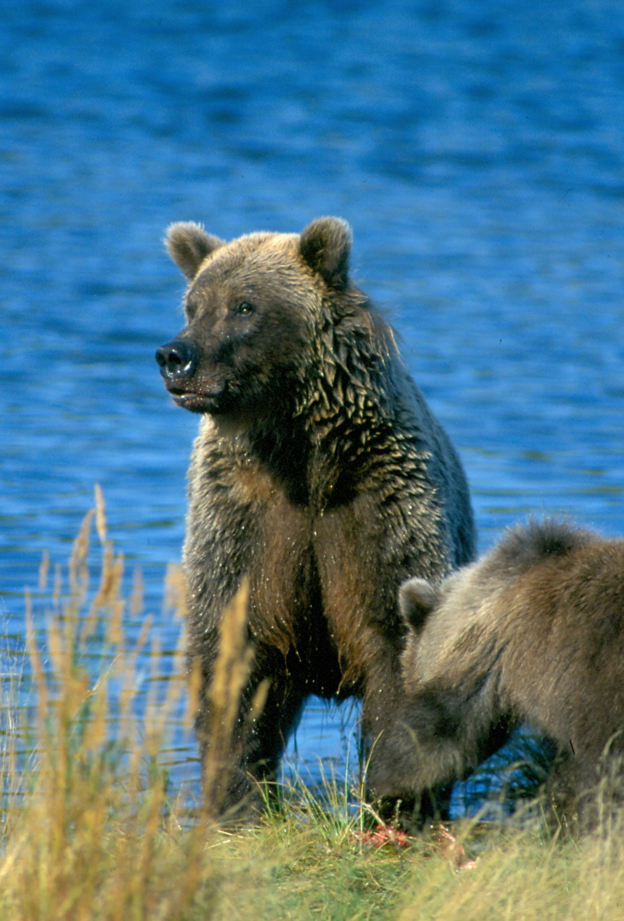 Alaska adventures! Alaska Alertness Animal Head  Animal Themes Bear Beauty In Nature Blue Close-up Cub Day Focus On Foreground Grizzly Katmai National Park Lunch Mammal Nature No People Outdoors Rippled Salmon Water Wilderness Wildlife