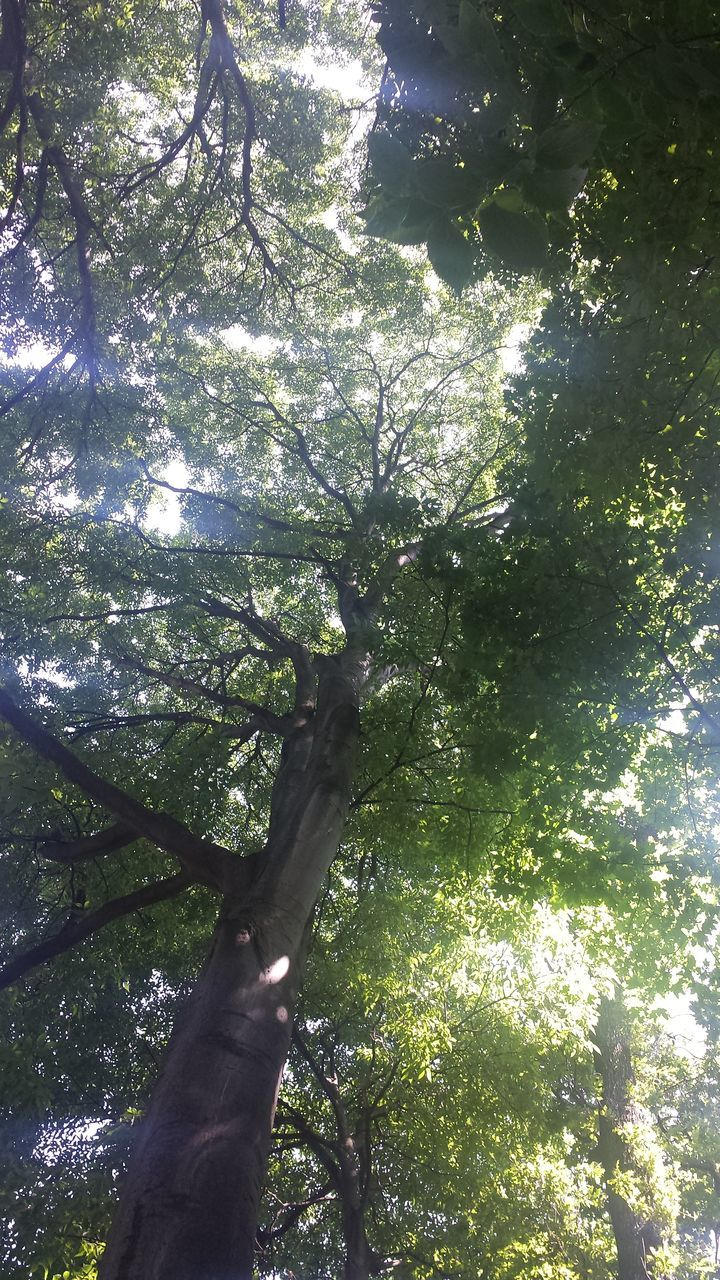 tree, nature, growth, forest, low angle view, day, branch, tranquility, outdoors, tree trunk, beauty in nature, sunlight, no people