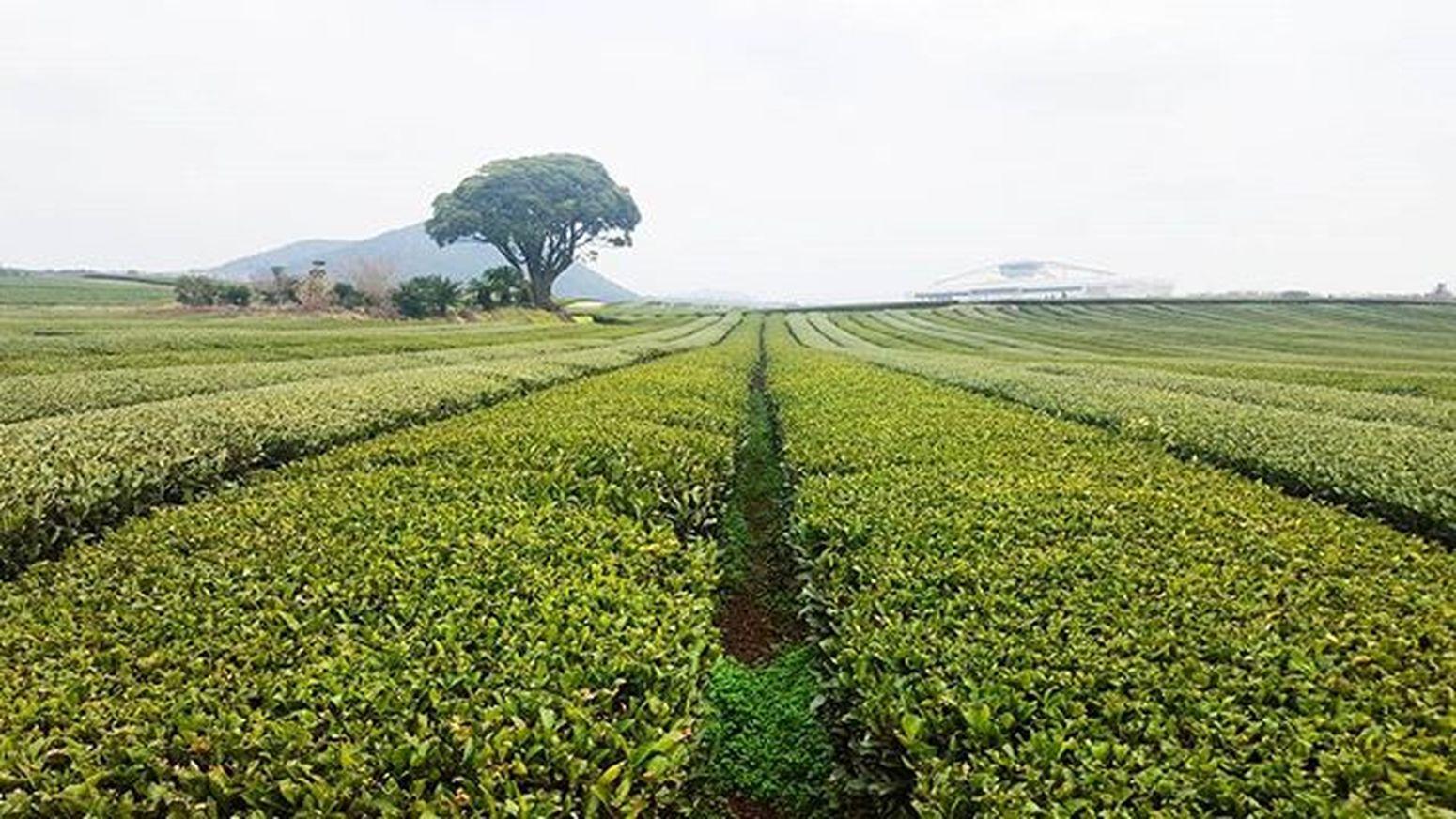 Rows of green tea plants🌿 Adzventure2016 JEJU ISLAND  Korea Tea Green GreenFarm