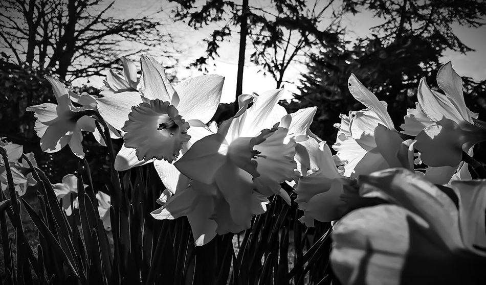 Yeah Springtime! Good Morning Dear Taking Photos Beautiful Daffodils Flowers Flowerporn Monochrome Blackandwhite Nature On Your Doorstep IPhoneography Beautiful Day