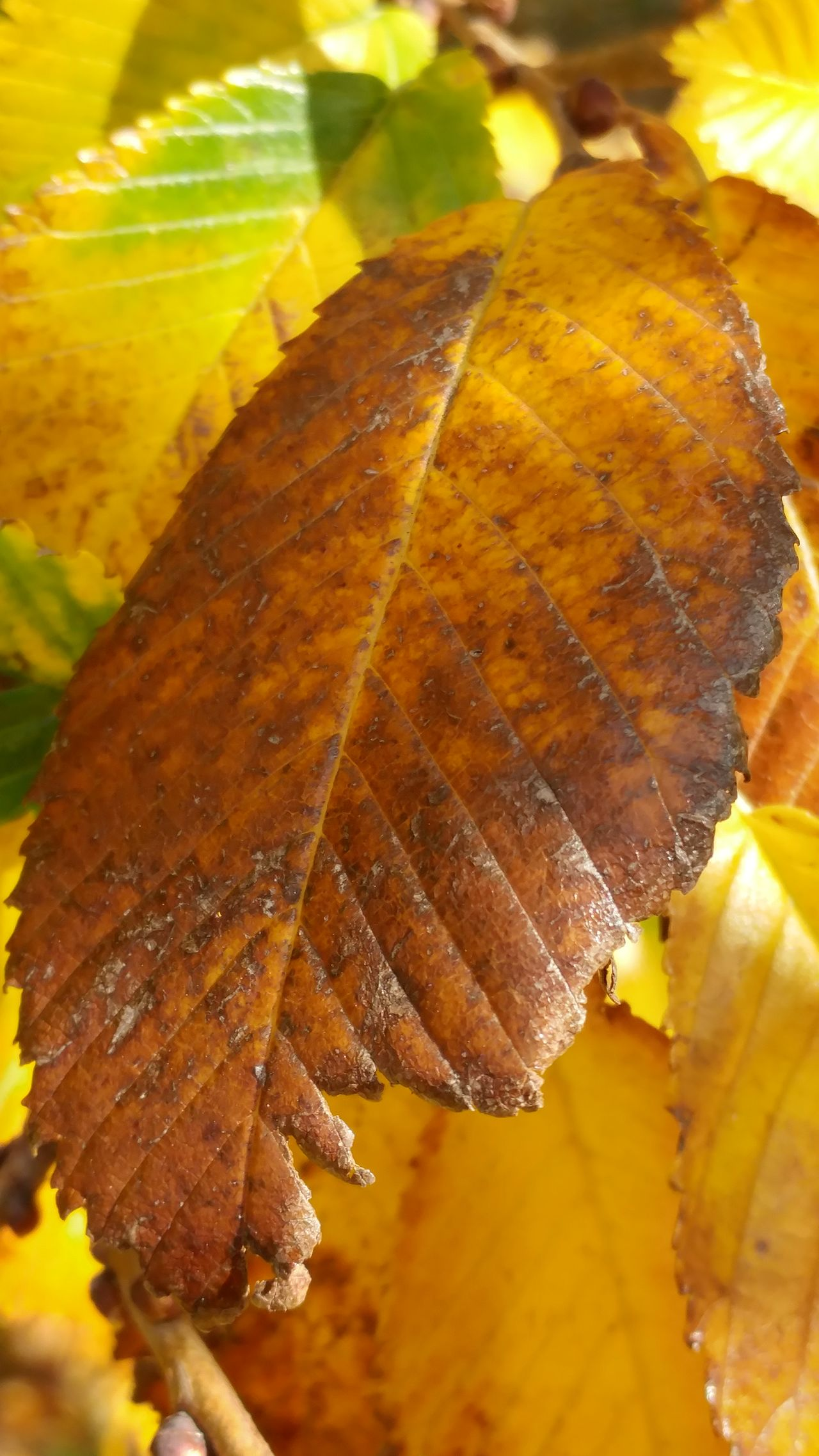 Leaf Close-up Nature Leaf No People Autumn Fragility Beauty In Nature Change Outdoors Maple Leaves Day Autumn Colours