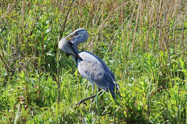 Beetje grote ogen!!Taking Photos Reiger Voorn Vogel Vissen Nature Nature Photography Naturelovers Holland Water Bird