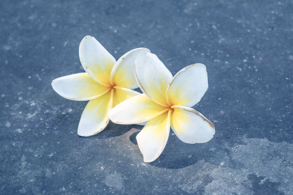 Beauty In Nature Close-up Day Flower Flower Head Fragility Frangipani Freshness Nature No People Outdoors Petal White Color Yellow