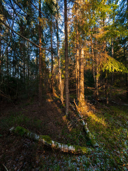 Sunbeam through the forrest at the lake Måsatjern, Nesodden, Norway Afternoon Sun Beauty In Nature Day Forest Nature Nature No People Outdoors Scenics Sunbeam On Tree Sunbeam Through The Trees Sunbeams Tranquil Scene Tree