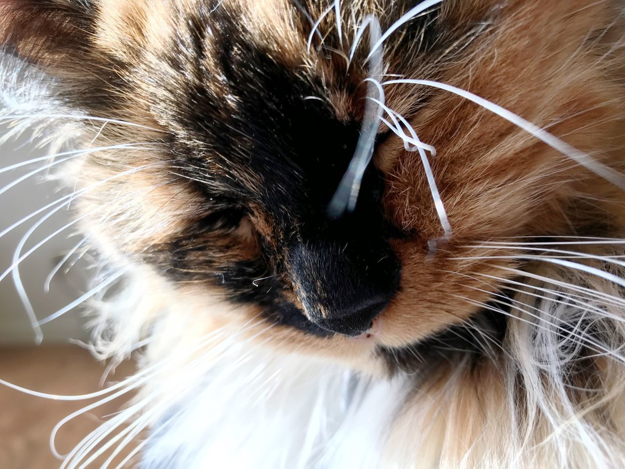 Domestic Cat Domestic Animals Pets Feline Mammal One Animal Animal Themes Close-up Whisker Cat Tortoiseshell Cat No People Indoors  Cat Portrait Cat Nose Sleep Cat Cat In Sunbeam