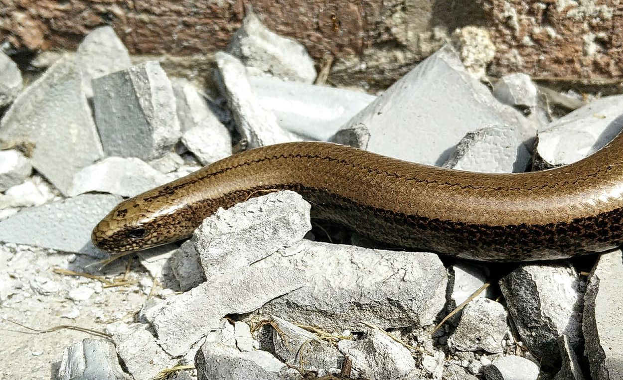 11th May. Found this little lady warming up on some old broken pots. Warmingup Metallic Nature Slither Lizard Female Anguis Fragilis Reptilia Beauty In Nature