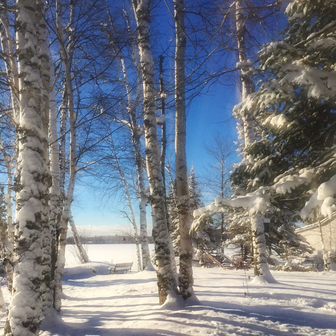 Winter birch Snow Winter Nature Beauty In Nature Outdoors Iphoneonly EyeEm Nature Lover