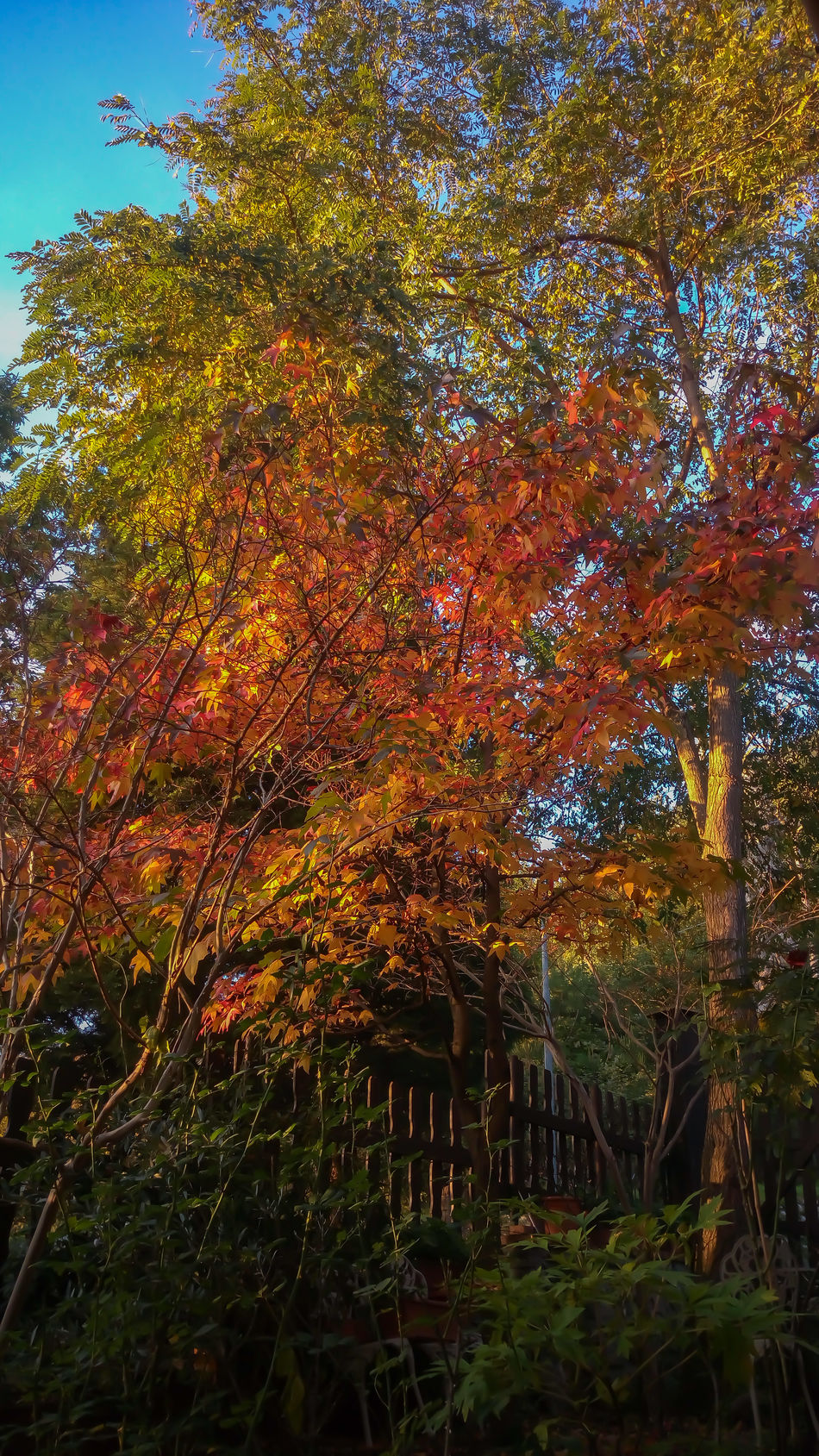 Tree Beauty In Nature Orange Color Autumn Beauty In Nature Autumn Colors Mygardentoday At Home Sweet Home Garden Photography StonexOneGalileo Athomeinthemountains Athomeinthewood Countrystyle Countryhouse In The Wood Color Explosion Liquidambar Colors
