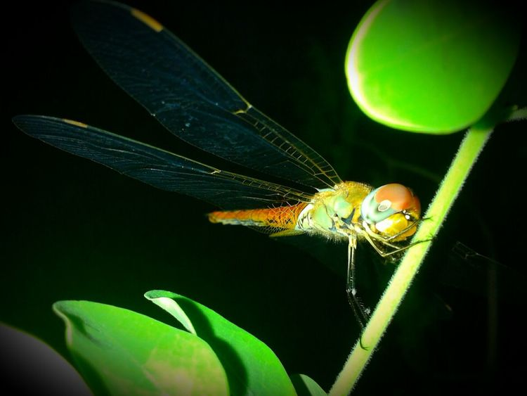 As fast as a Dragonfly .. Born To Fly Catch Of The Day Big Eyes Dangerous Insect Photography love this beautiful creature.. Photography Photooftheday EyeEm Best Shots EyeEm Nature Lover Nature Photography Close-up..the names Dragonfly💛