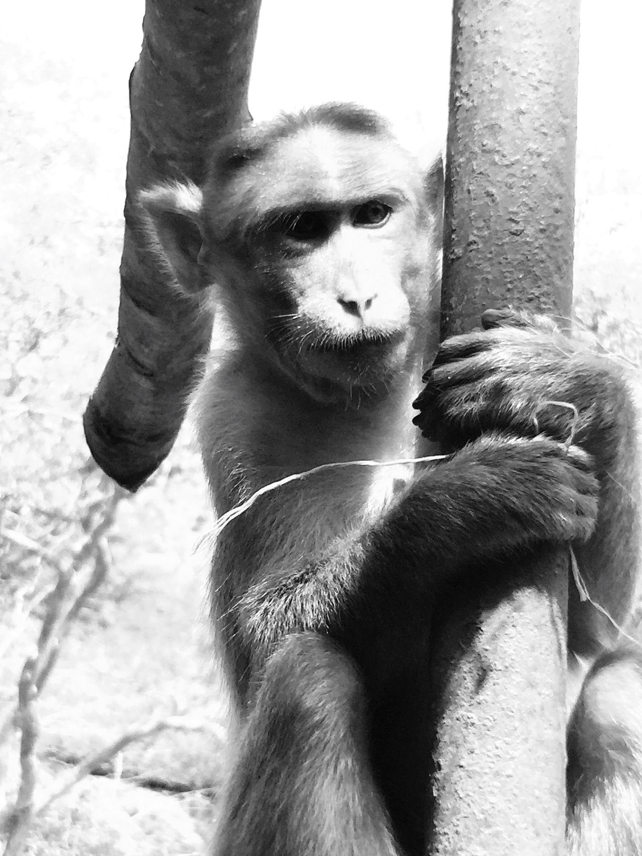 B&W Portrait Monkey Langur India Kanheri Caves Animals IPhoneography