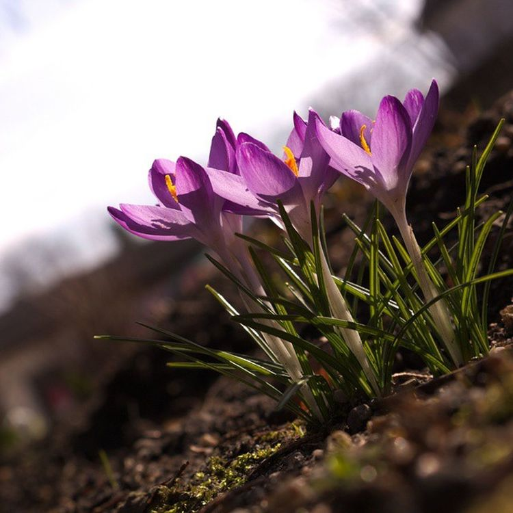 It's a so sunny saturday, so I took my camera and went out to enjoy spring! Spring Camera Flower Flowers Crocus Green Purple Earth Goshoot Justgoshoot 2015  March Sky Enjoylife Enjoy Raw Cr2 Gooutside 700D Canon_photos @canon_photos Worldbestclick Igersgermany @igersgermany Ig_germany @ig.germany Bns_family @bns_family Camera goout teamcanon superhubs_2million