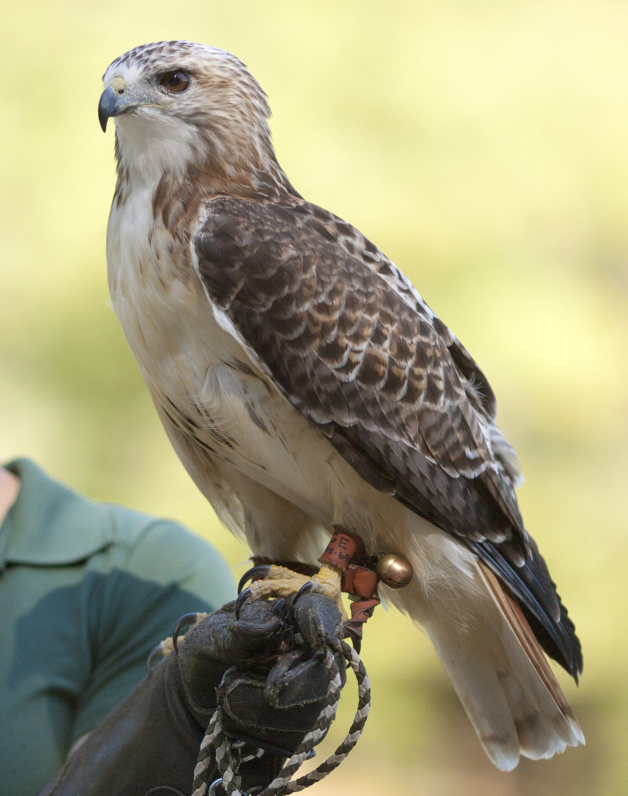 Animal Themes Animal Wildlife Animals In The Wild Bird Bird Of Prey Close-up Day Falcon - Bird Focus On Foreground Hawk Nature No People One Animal Outdoors Perching