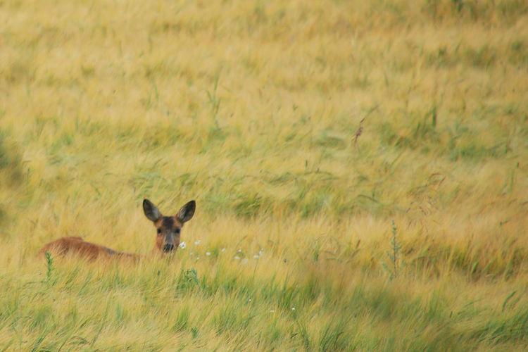 Alertness Animal Themes Animals In The Wild Field Grainfield Landscape One Animal Roedeer Sweden Wildlife