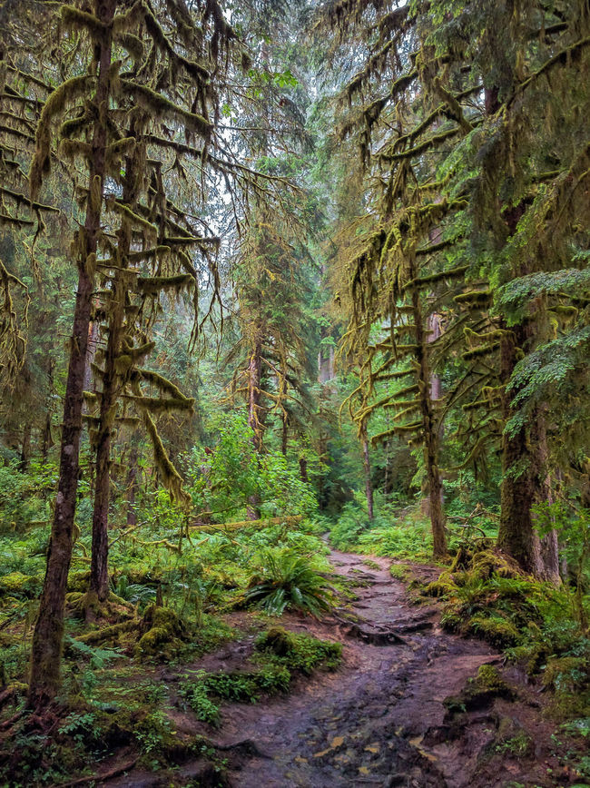 Walking through the HOH Rainforest - stunning and tranquil Beauty In Nature WoodLand Landscape Tree Forest Nature Footpath Tranquility Fuji X-T1 FUJIFILM X-T1 EyeEm Gallery Beautiful Scenery Beauty In Nature Natural Beauty Hoh Rainforest Olympic National Park Rainforest Walks The Way Forward