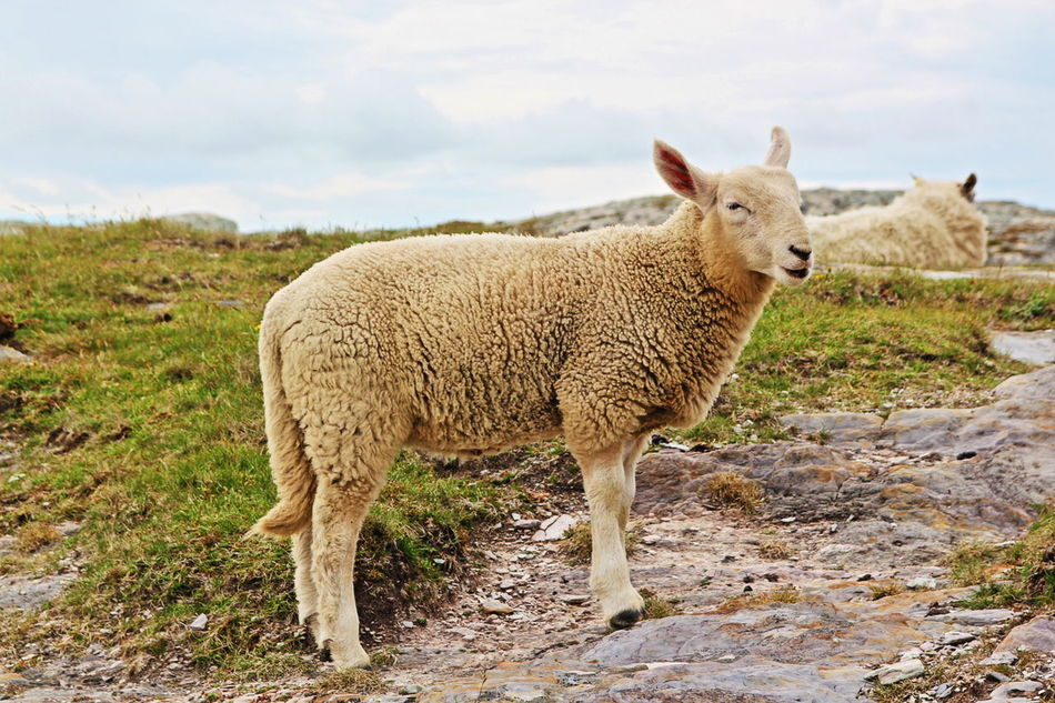 Beautiful stock photos of sheep, Animal Themes, Beauty In Nature, Day, Domestic Animals