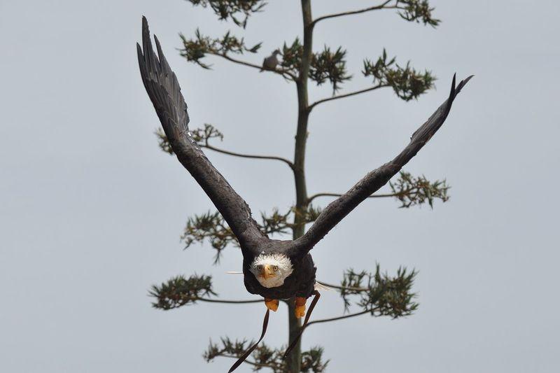 Bald Eagle shocked expression Bald Eagle Bird Of Prey Birds Eagle Hunter Predator Scared Face Shocked Face