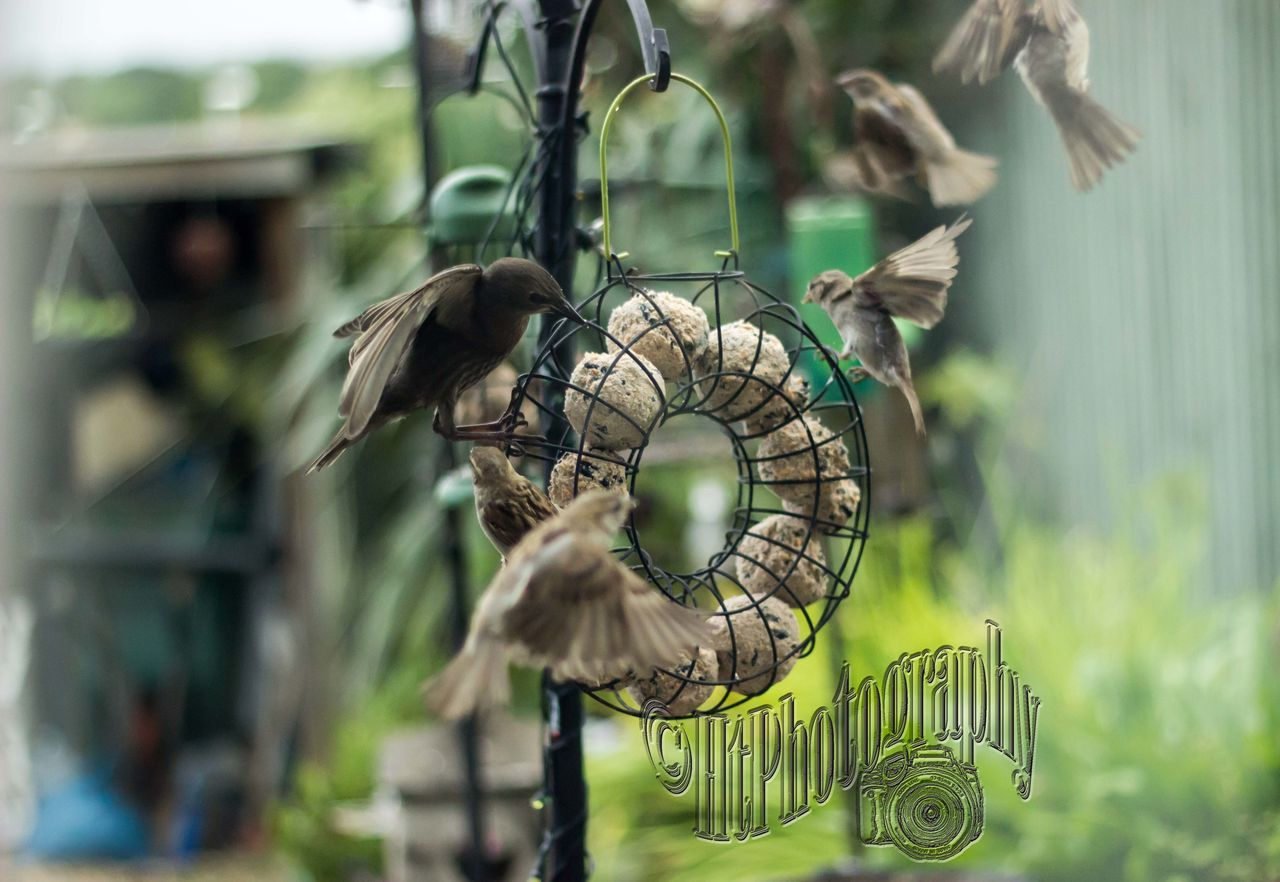 Feed me Feed me #birds #feedingtime #Nature  #sparrows #starlings Animal Wildlife Beauty In Nature No People